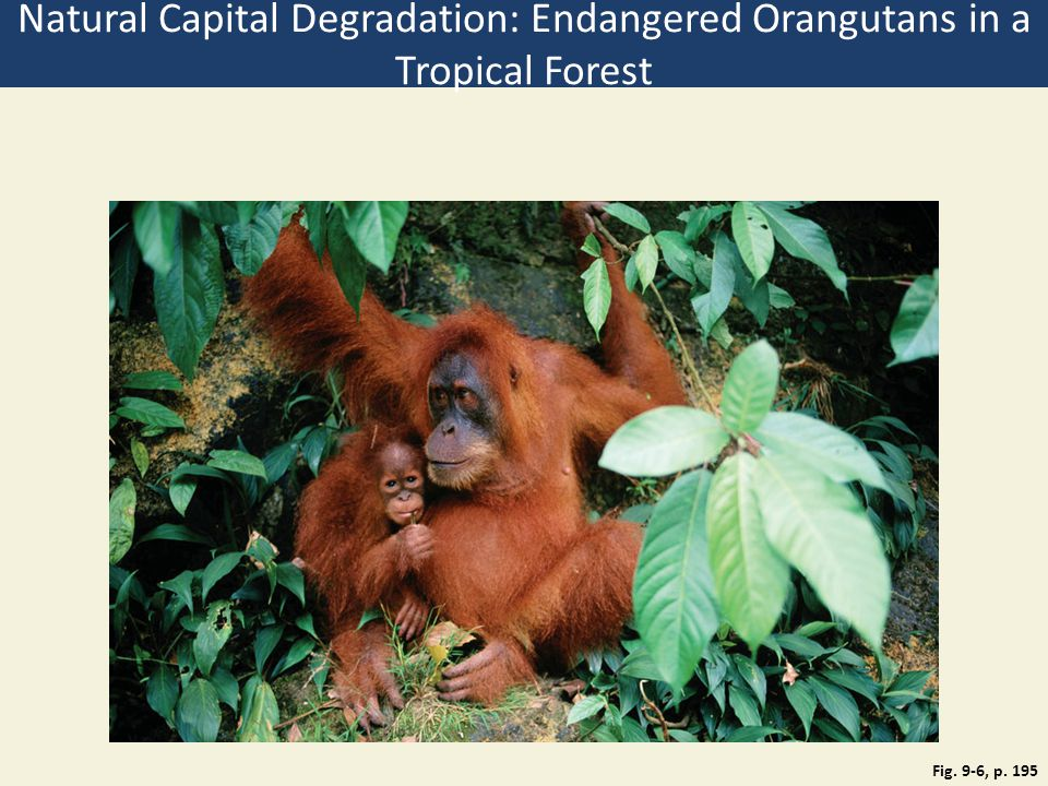 Fig. 9-6, p. 195 Natural Capital Degradation: Endangered Orangutans in a Tropical Forest