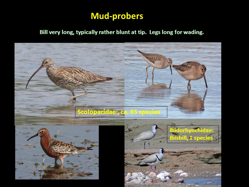 Mud-probers Bill very long, typically rather blunt at tip.