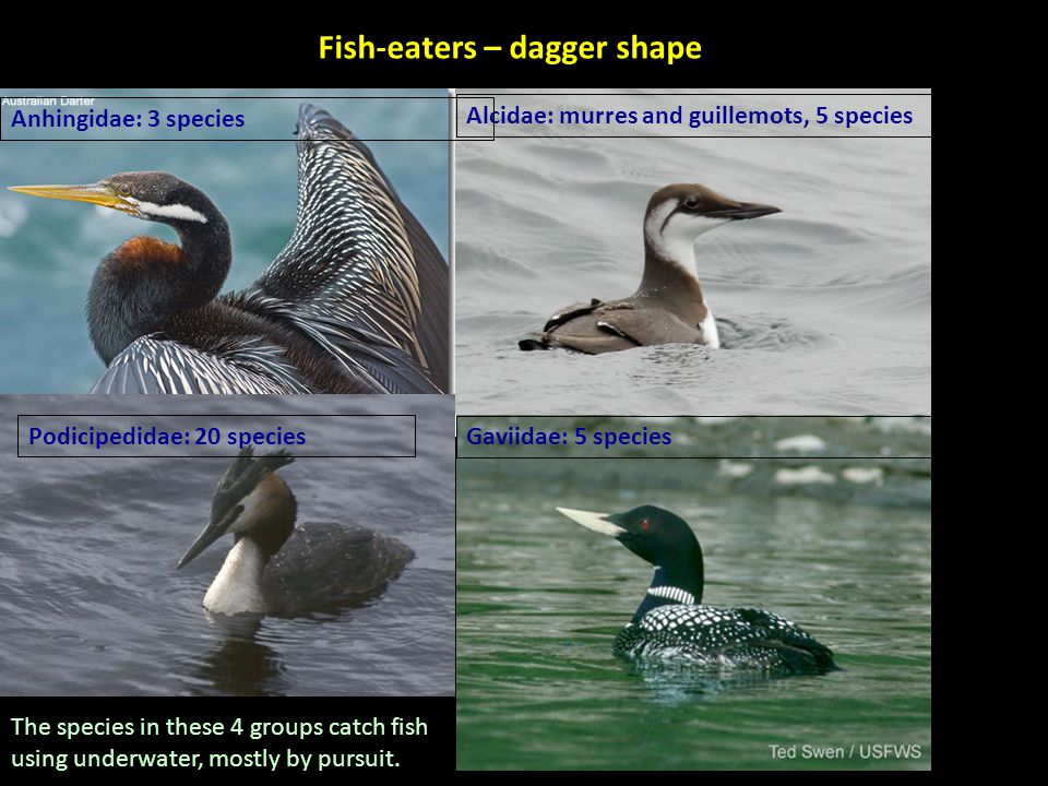 Fish-eaters – dagger shape Alcidae: murres and guillemots, 5 species Anhingidae: 3 species Podicipedidae: 20 species Gaviidae: 5 species The species in these 4 groups catch fish using underwater, mostly by pursuit.