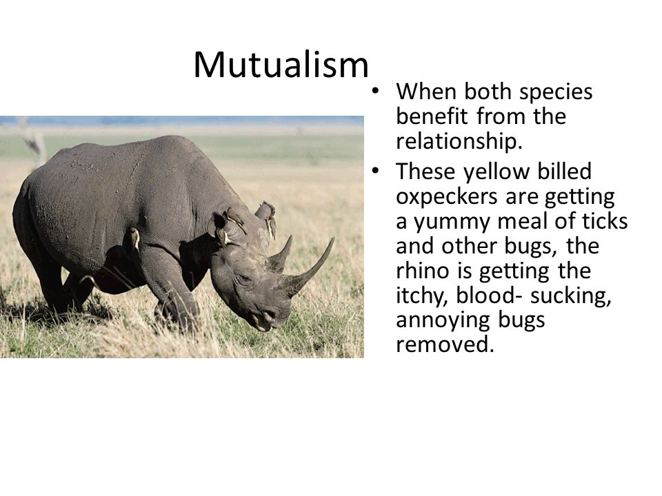 Mutualism When both species benefit from the relationship. These yellow billed oxpeckers are getting a yummy meal of ticks and other bugs, the rhino i