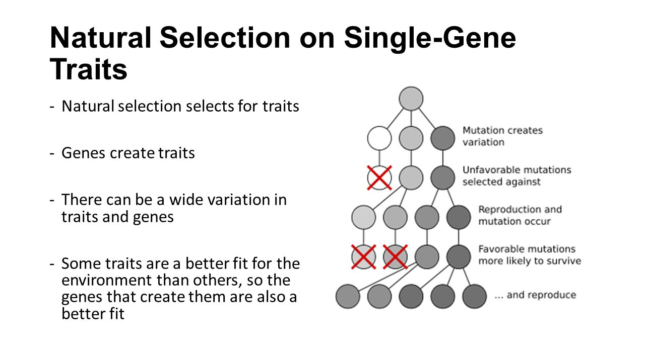 Natural Selection on Single-Gene Traits -Natural selection selects for traits -Genes create traits -There can be a wide variation in traits and genes