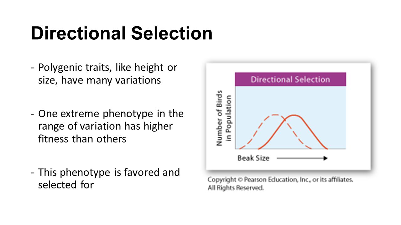 Directional Selection -Polygenic traits, like height or size, have many variations -One extreme phenotype in the range of variation has higher fitness