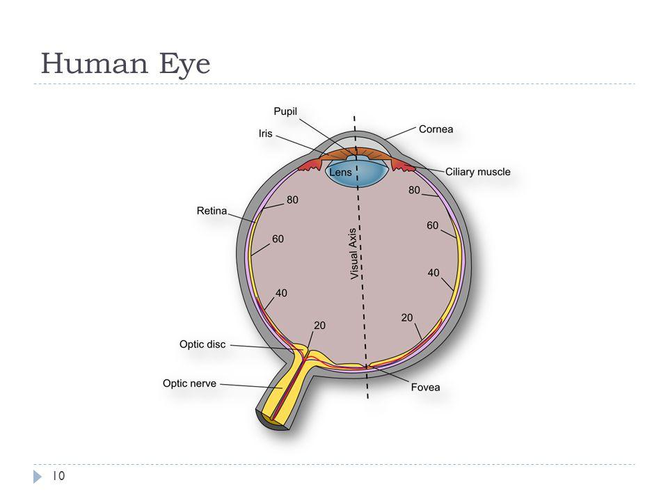 Human Eye 10