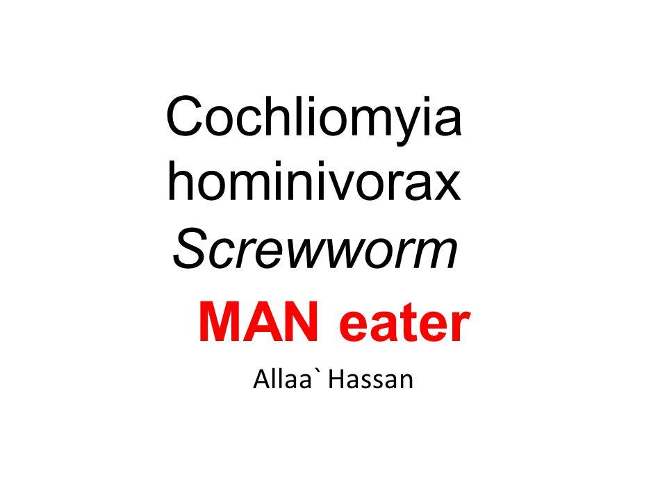 Cochliomyia hominivorax Screwworm MAN eater Allaa` Hassan