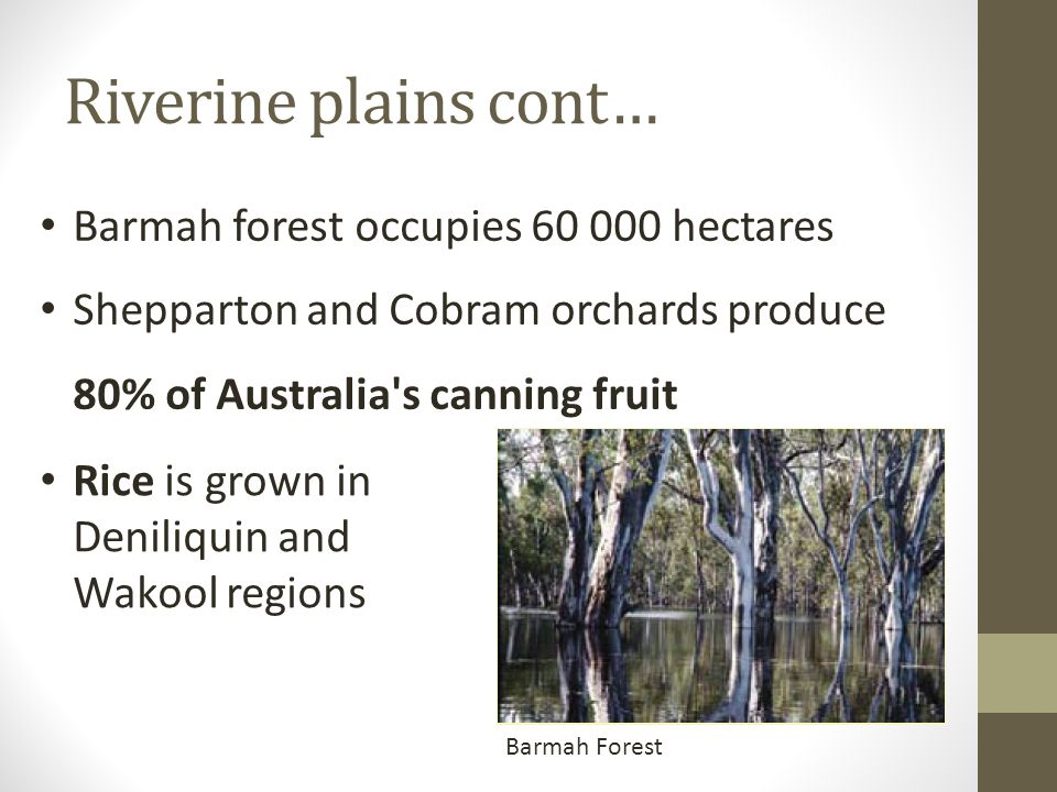 Riverine plains cont… Barmah Forest Barmah forest occupies 60 000 hectares Shepparton and Cobram orchards produce 80% of Australia's canning fruit Ric