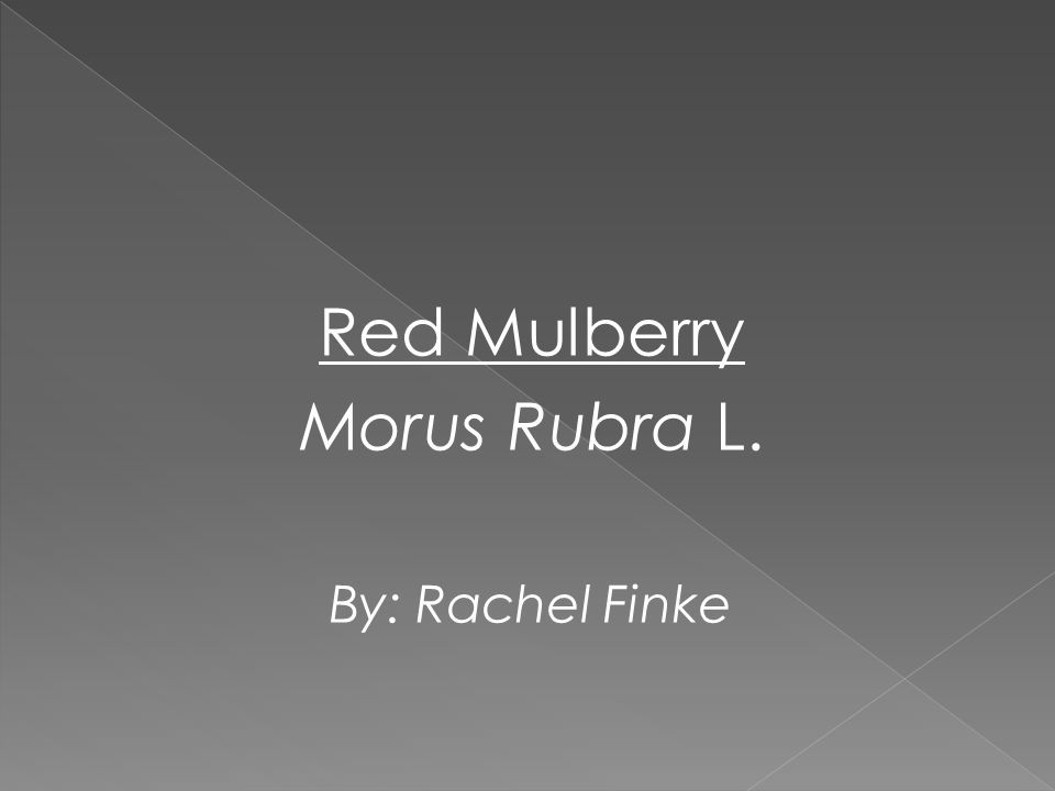 Red Mulberry Morus Rubra L. By: Rachel Finke