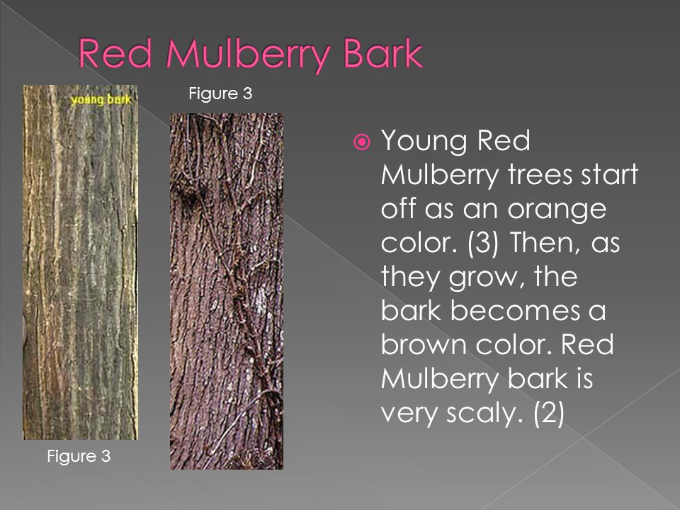  Young Red Mulberry trees start off as an orange color.