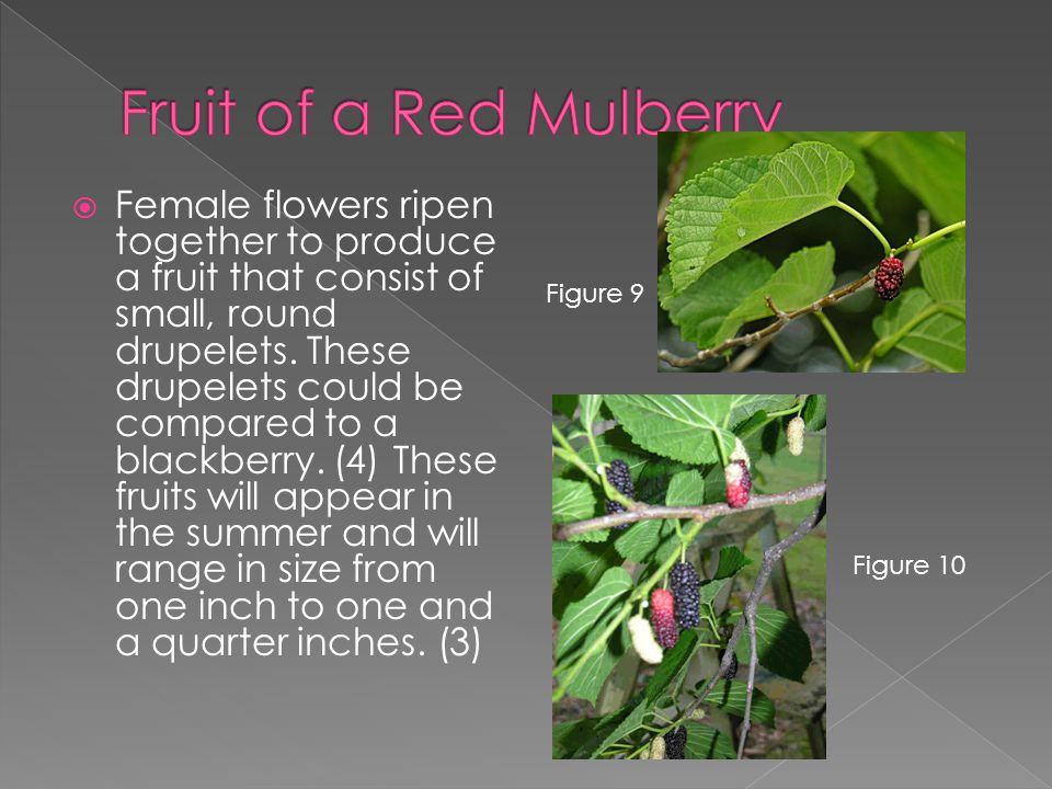  Female flowers ripen together to produce a fruit that consist of small, round drupelets.