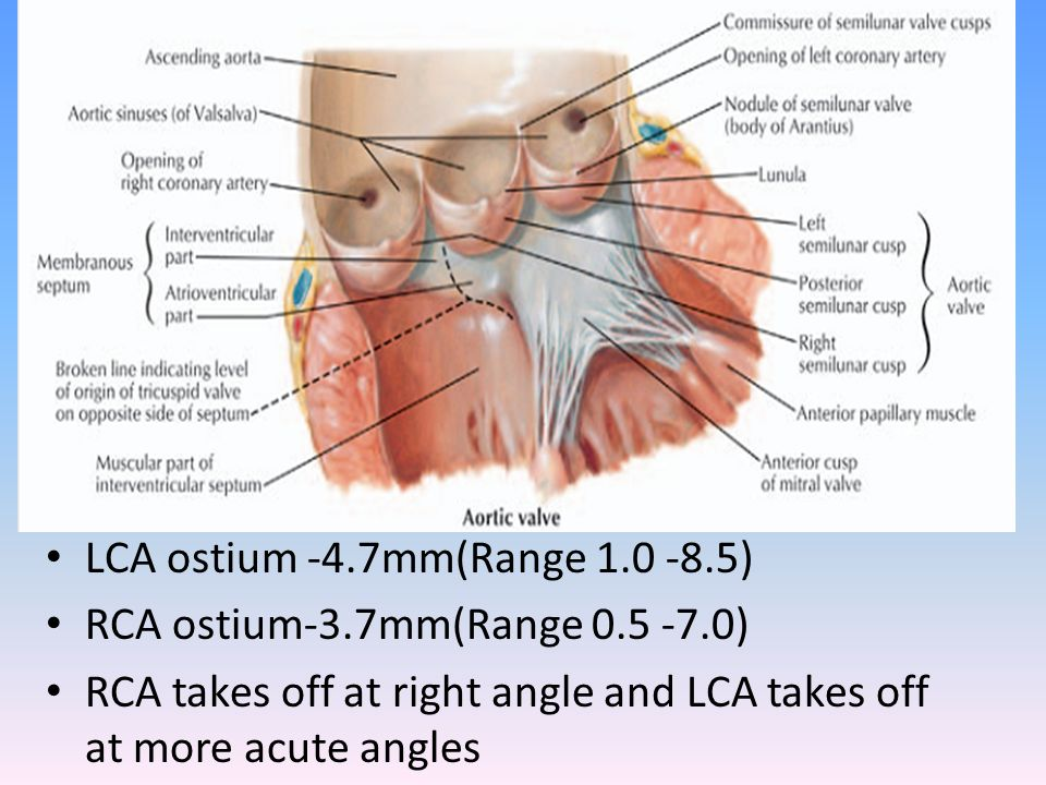 LCA ostium -4.7mm(Range 1.0 -8.5) RCA ostium-3.7mm(Range 0.5 -7.0) RCA takes off at right angle and LCA takes off at more acute angles