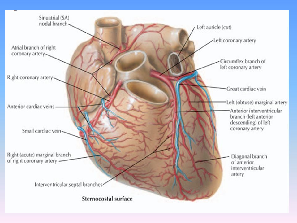 Right coronary artery-branches… 4) Right atrial artery- -originates at about the level of acute marginal artery travels in opposite direction towards right heart border -receives branches from SA nodal artery and bypasses obstruction in proximal portion of the RCA.