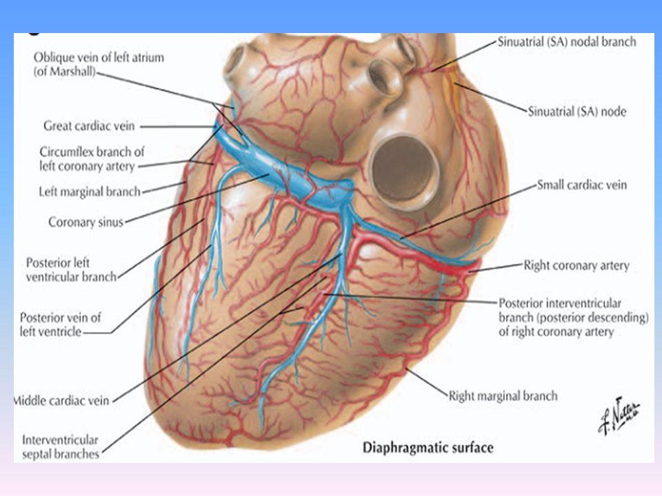 Perfect Left Coronary Artery Anatomy Embellishment - Human Anatomy ...