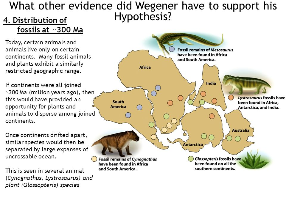 What other evidence did Wegener have to support his Hypothesis? 4. Distribution of fossils at ~300 Ma Today, certain animals and animals live only on
