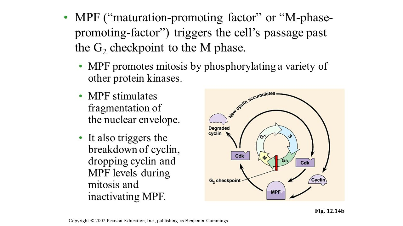 """MPF (""""maturation-promoting factor"""" or """"M-phase- promoting-factor"""") triggers the cell's passage past the G 2 checkpoint to the M phase. MPF promotes mi"""