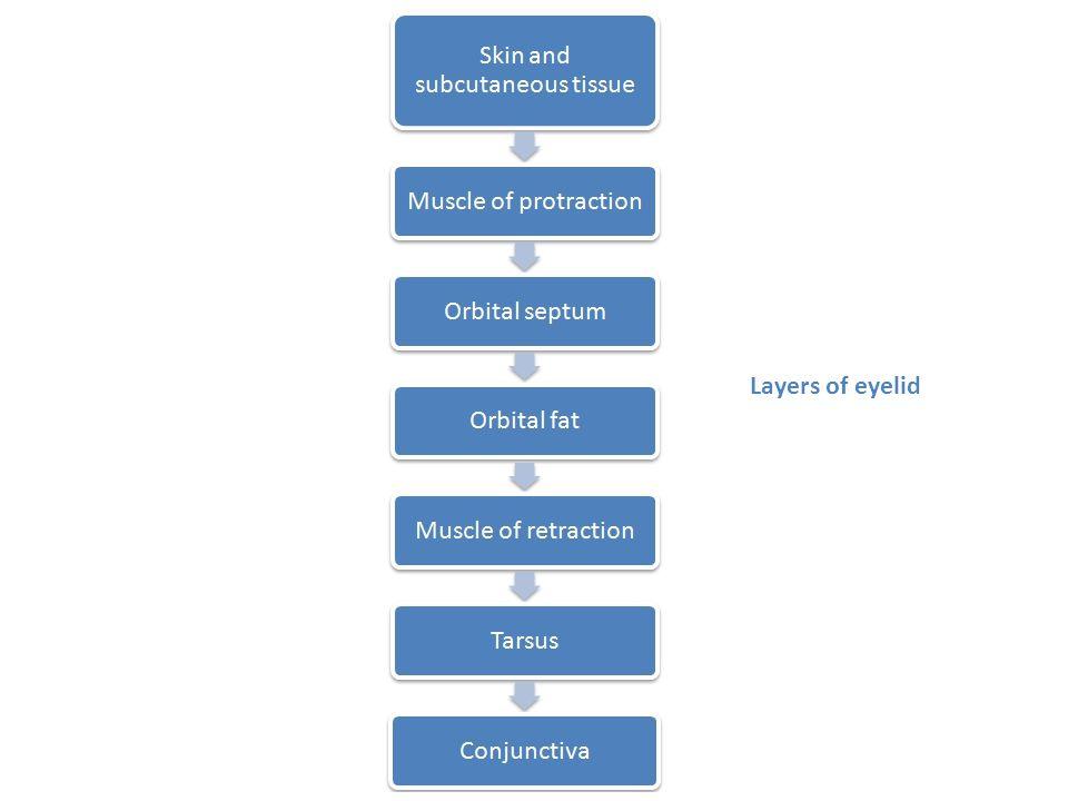 Layers of eyelid