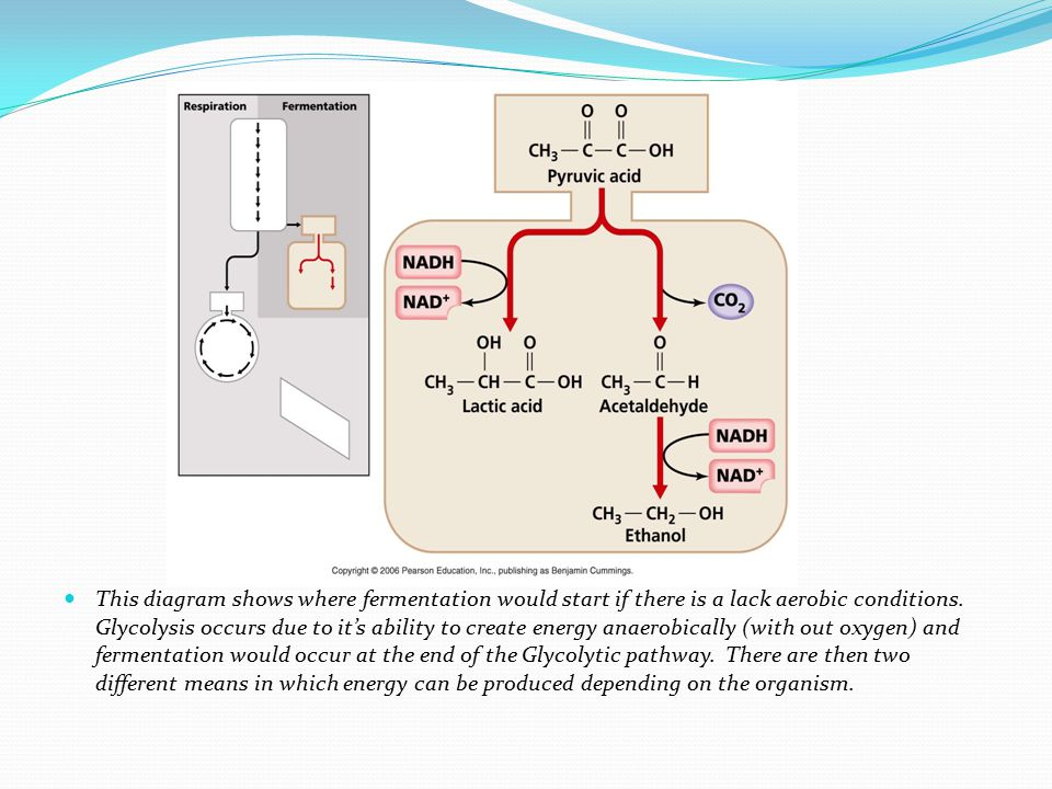 This diagram shows where fermentation would start if there is a lack aerobic conditions. Glycolysis occurs due to it's ability to create energy anaero
