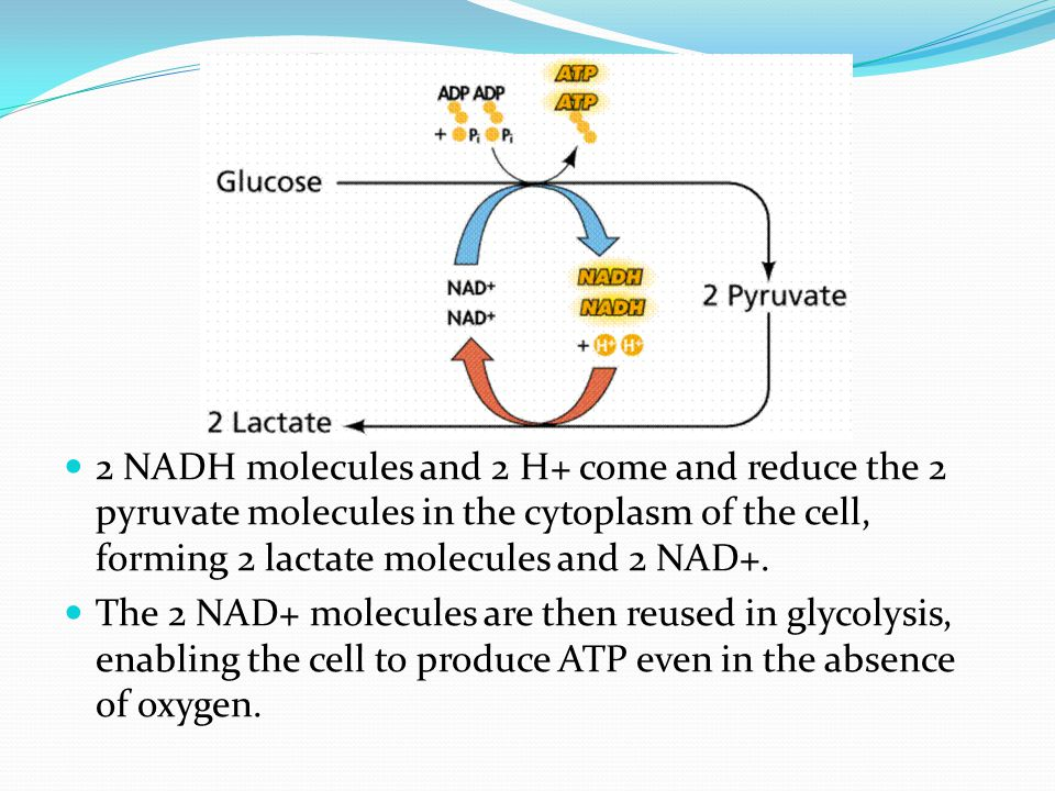 2 NADH molecules and 2 H+ come and reduce the 2 pyruvate molecules in the cytoplasm of the cell, forming 2 lactate molecules and 2 NAD+. The 2 NAD+ mo