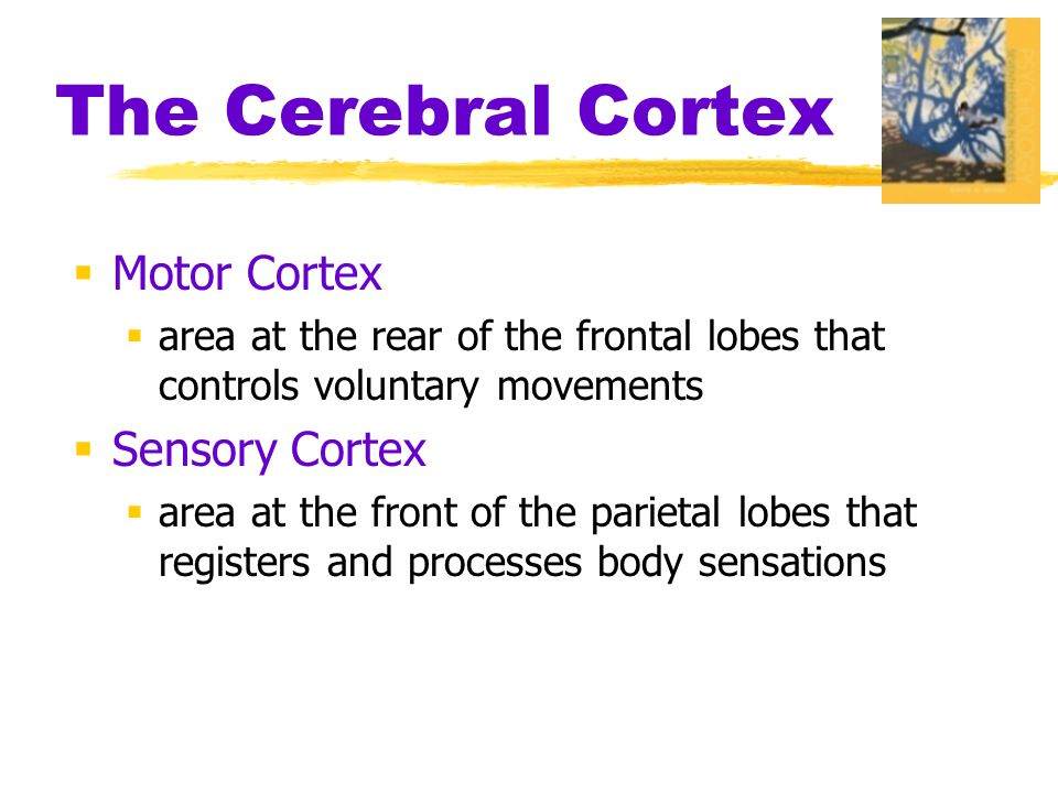  Motor Cortex  area at the rear of the frontal lobes that controls voluntary movements  Sensory Cortex  area at the front of the parietal lobes that registers and processes body sensations