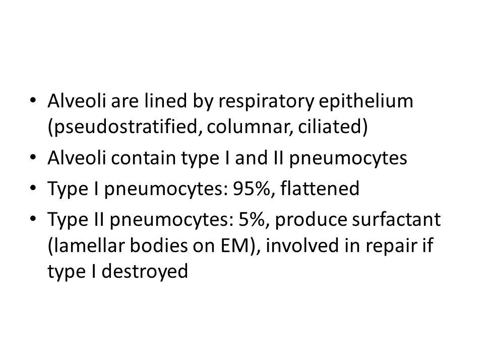 Alveoli are lined by respiratory epithelium (pseudostratified, columnar, ciliated) Alveoli contain type I and II pneumocytes Type I pneumocytes: 95%,