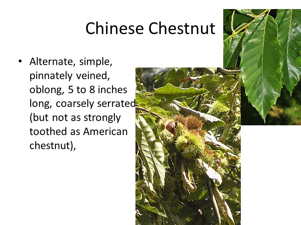 Chinese Chestnut Alternate, simple, pinnately veined, oblong, 5 to 8 inches long, coarsely serrated (but not as strongly toothed as American chestnut)