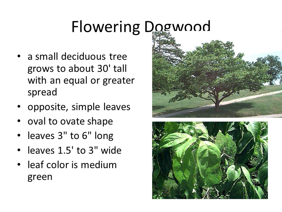 Flowering Dogwood a small deciduous tree grows to about 30' tall with an equal or greater spread opposite, simple leaves oval to ovate shape leaves 3