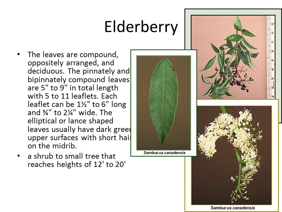 Elderberry The leaves are compound, oppositely arranged, and deciduous. The pinnately and bipinnately compound leaves are 5