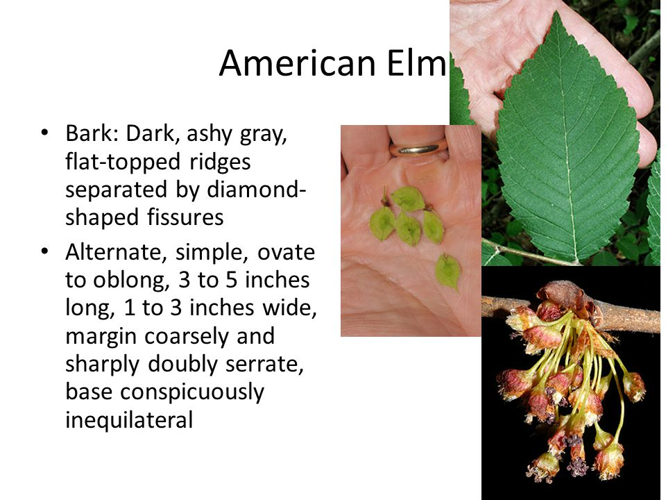 American Elm Bark: Dark, ashy gray, flat-topped ridges separated by diamond- shaped fissures Alternate, simple, ovate to oblong, 3 to 5 inches long, 1