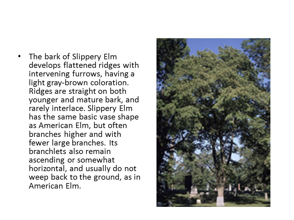 The bark of Slippery Elm develops flattened ridges with intervening furrows, having a light gray-brown coloration. Ridges are straight on both younger