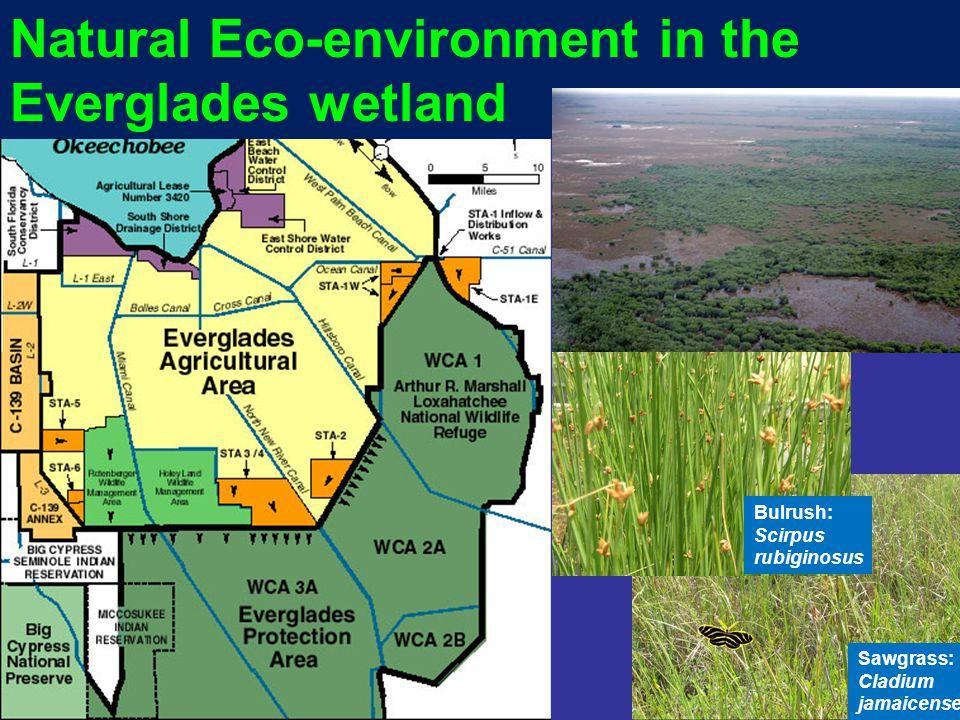 Natural Eco-environment in the Everglades wetland Bulrush: Scirpus rubiginosus Sawgrass: Cladium jamaicense