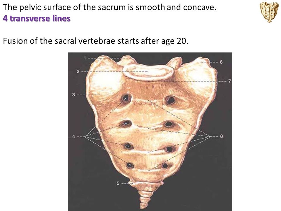 The pelvic surface of the sacrum is smooth and concave. 4 transverse lines Fusion of the sacral vertebrae starts after age 20.