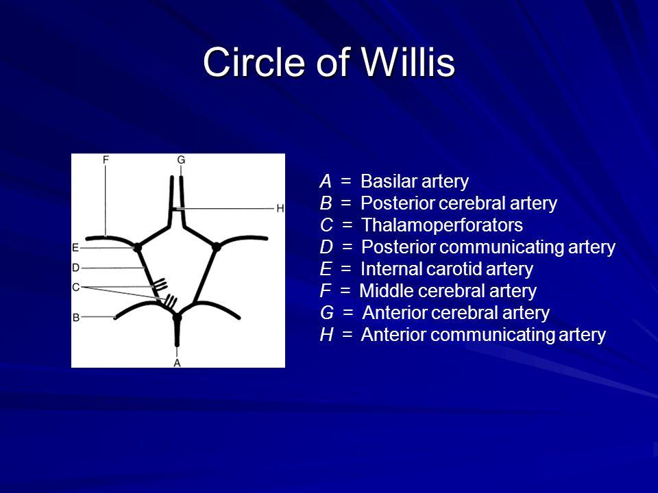 Circle of Willis A = Basilar artery B = Posterior cerebral artery C = Thalamoperforators D = Posterior communicating artery E = Internal carotid arter