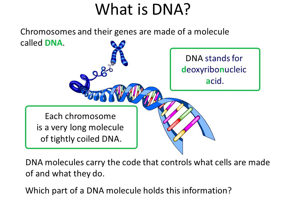Chromosomes and their genes are made of a molecule called DNA.