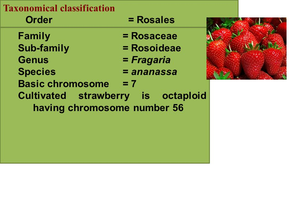 Taxonomical classification Order = Rosales Family= Rosaceae Sub-family= Rosoideae Genus= Fragaria Species= ananassa Basic chromosome= 7 Cultivated strawberry is octaploid having chromosome number 56