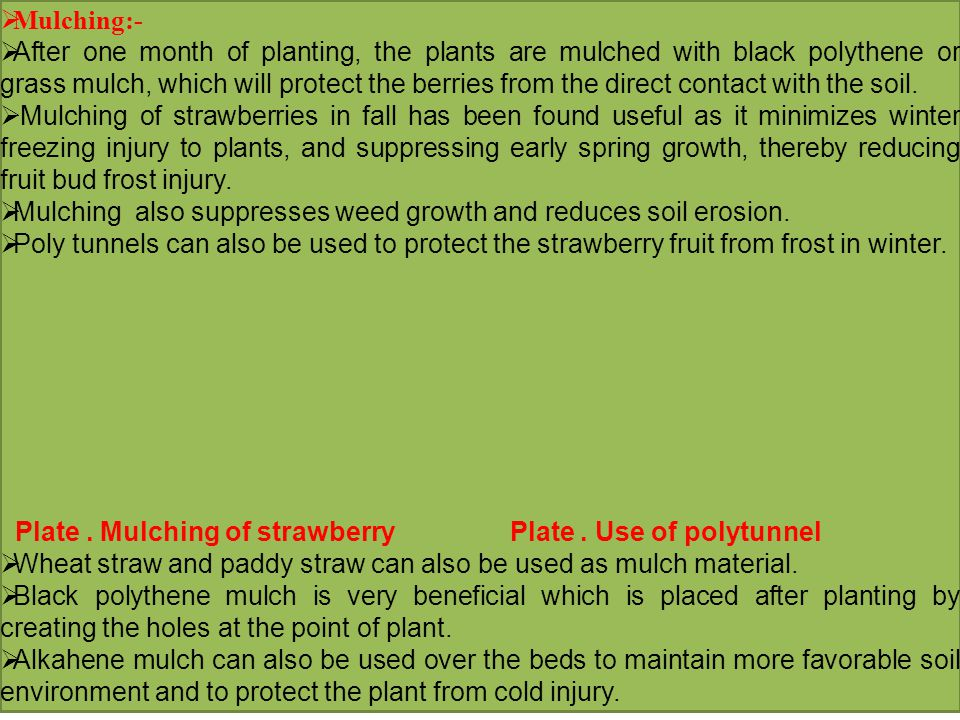  Mulching:-  After one month of planting, the plants are mulched with black polythene or grass mulch, which will protect the berries from the direct contact with the soil.