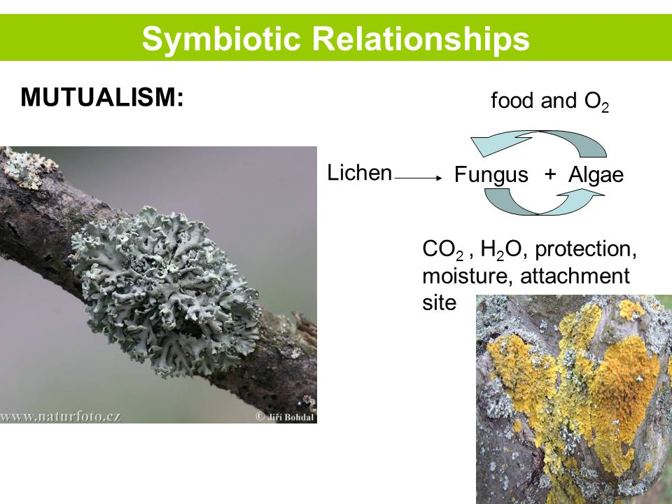 Symbiotic Relationships MUTUALISM: Fungus Lichen + Algae food and O 2 CO 2, H 2 O, protection, moisture, attachment site
