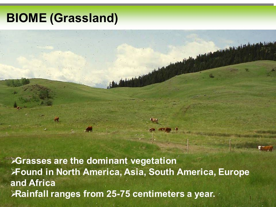 Grassland: BIOME (Grassland)  Grasses are the dominant vegetation  Found in North America, Asia, South America, Europe and Africa  Rainfall ranges