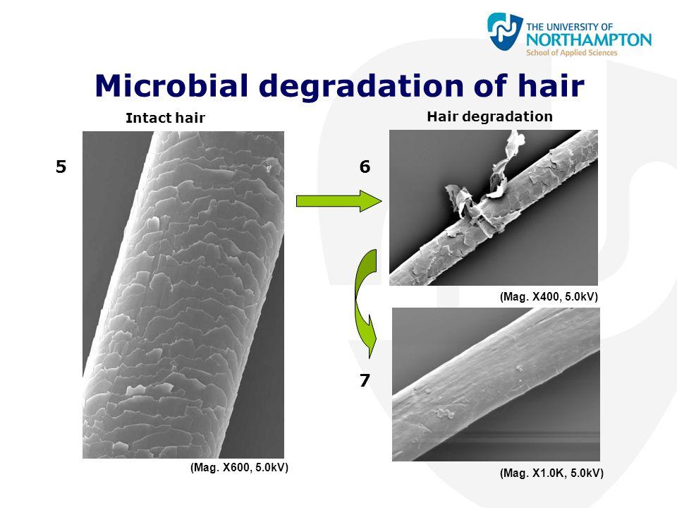Microbial degradation of hair Intact hair Hair degradation 56 7 (Mag. X600, 5.0kV) (Mag. X1.0K, 5.0kV) (Mag. X400, 5.0kV)