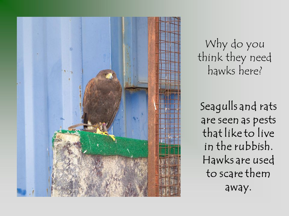 Why do you think they need hawks here.