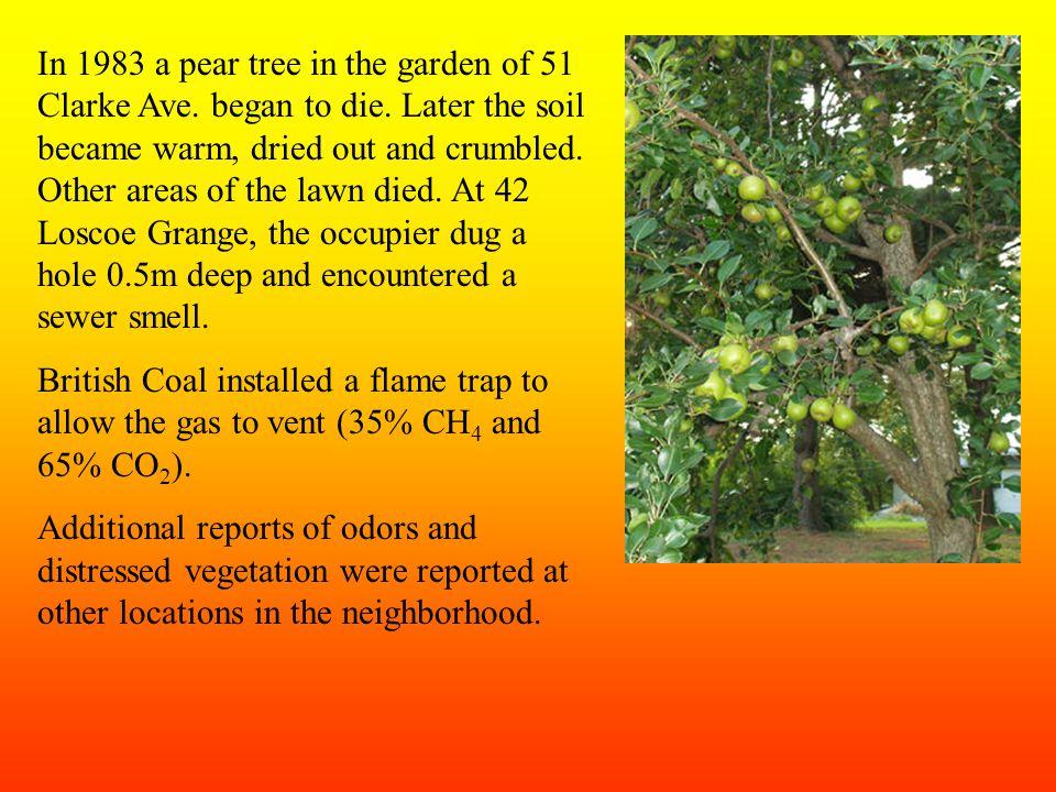 In 1983 a pear tree in the garden of 51 Clarke Ave.