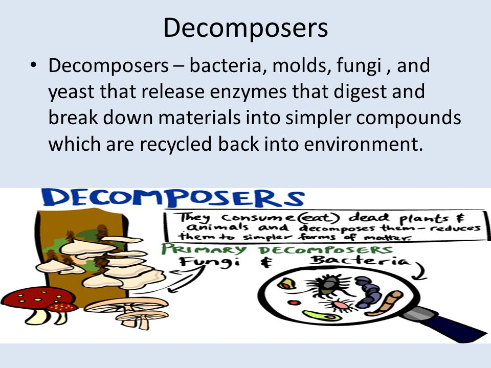 Decomposers Decomposers – bacteria, molds, fungi, and yeast that release enzymes that digest and break down materials into simpler compounds which are recycled back into environment.