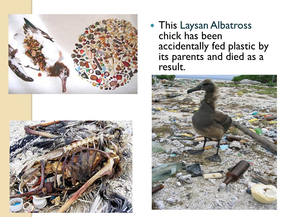 This Laysan Albatross chick has been accidentally fed plastic by its parents and died as a result.
