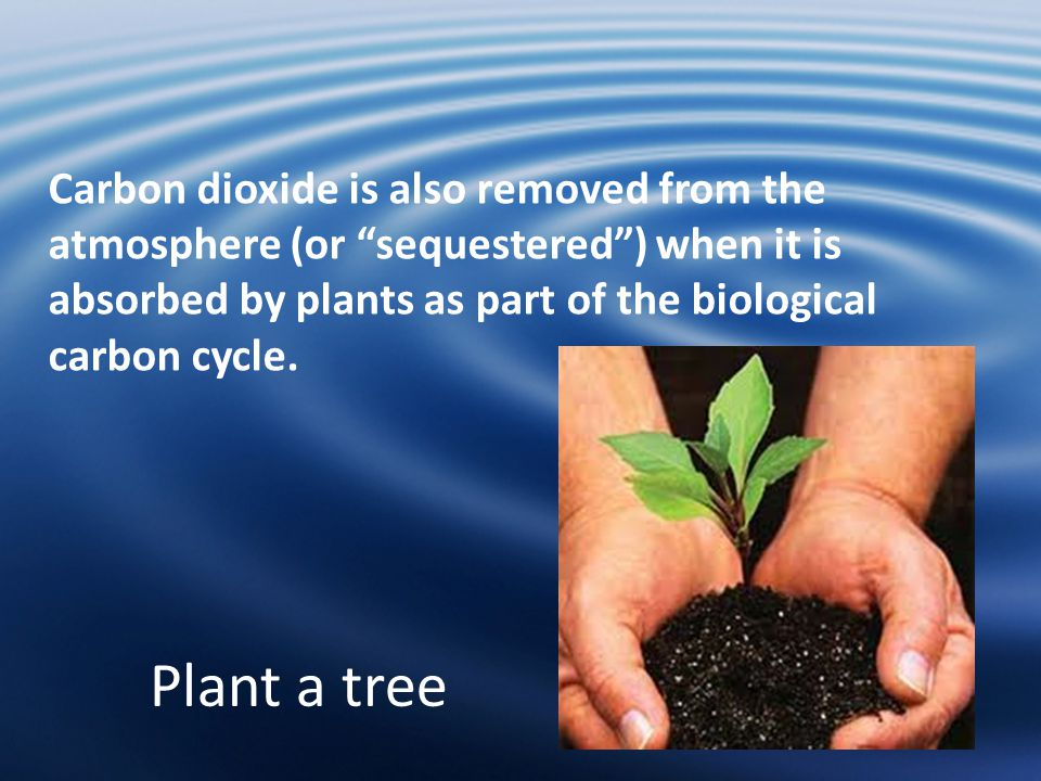 Plant a tree Carbon dioxide is also removed from the atmosphere (or sequestered ) when it is absorbed by plants as part of the biological carbon cycle.