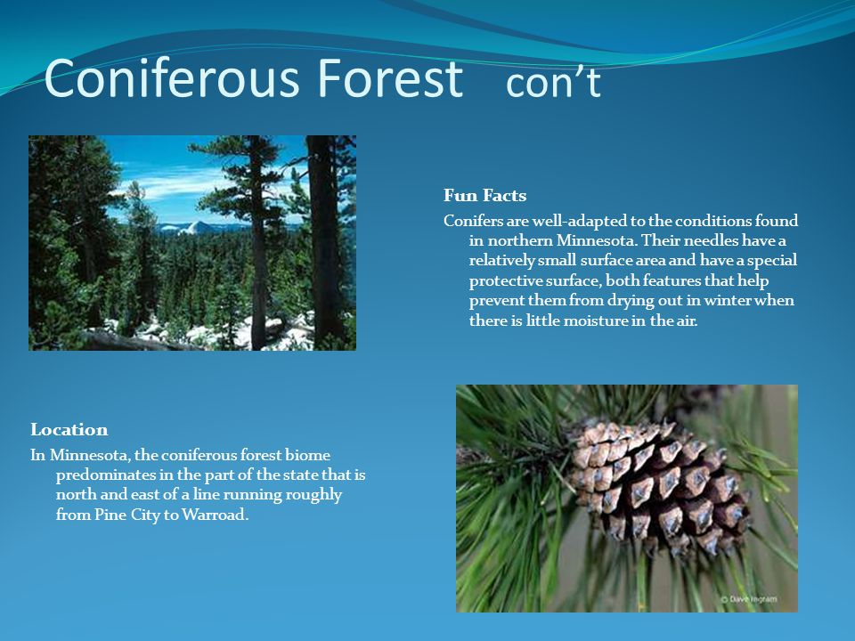 Coniferous Forest con't Location In Minnesota, the coniferous forest biome predominates in the part of the state that is north and east of a line running roughly from Pine City to Warroad.