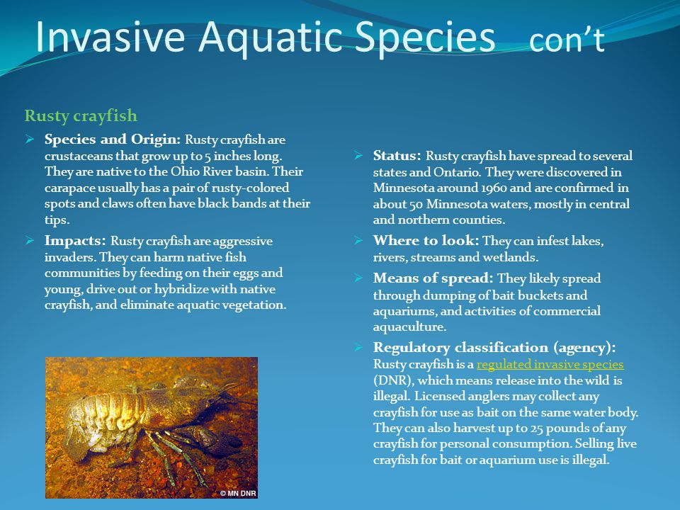 Invasive Aquatic Species con't Rusty crayfish  Species and Origin : Rusty crayfish are crustaceans that grow up to 5 inches long.
