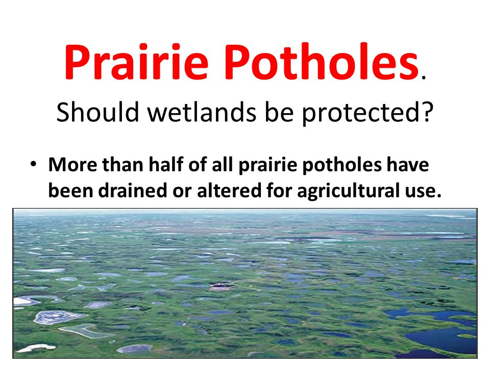 Prairie Potholes. Should wetlands be protected? More than half of all prairie potholes have been drained or altered for agricultural use.