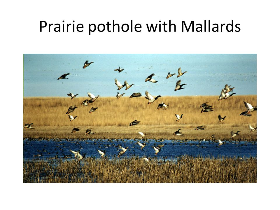 Prairie pothole with Mallards