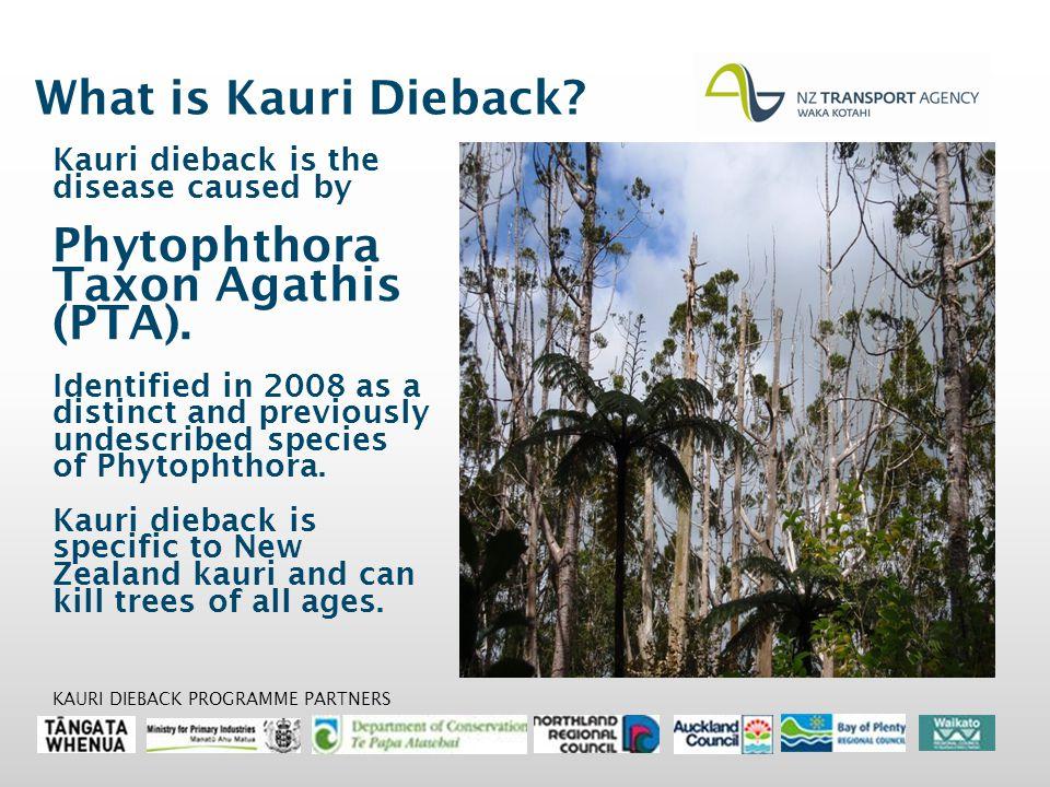 What is Kauri Dieback. Kauri dieback is the disease caused by Phytophthora Taxon Agathis (PTA).