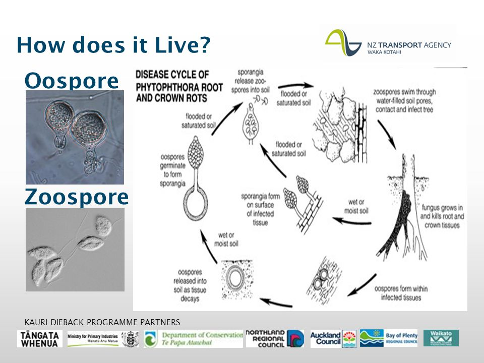 How does it Live Oospore Zoospore KAURI DIEBACK PROGRAMME PARTNERS