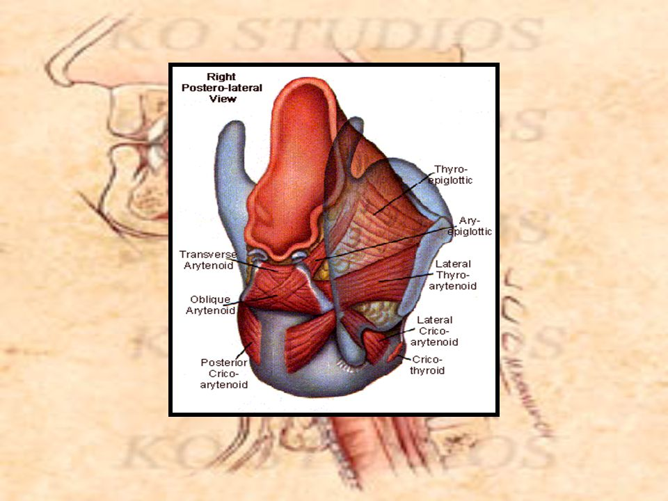 Vocal Folds and Functions presented by Cara Mucosa http://www.bmc.med.utoronto.ca/anatomia http://www.speechandhearing.net/lecture/
