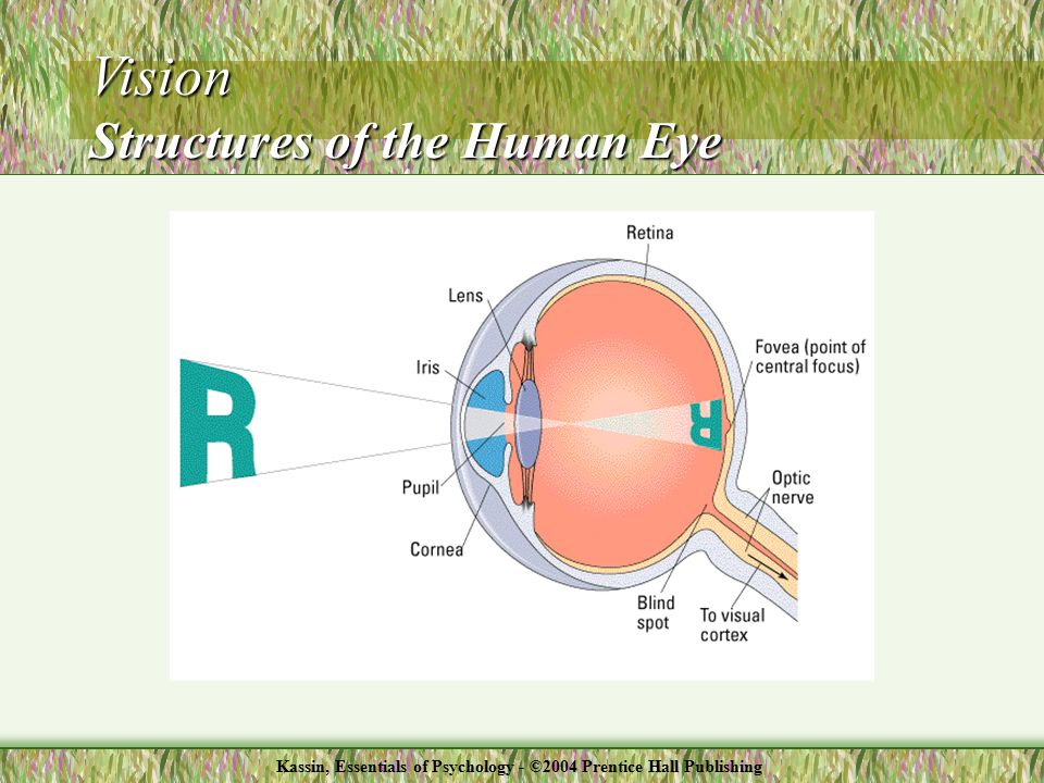 Vision Structures of the Human Eye Kassin, Essentials of Psychology - ©2004 Prentice Hall Publishing