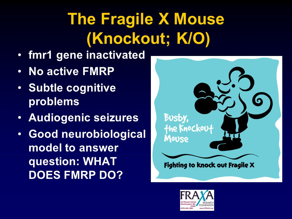 The Fragile X Mouse (Knockout; K/O) fmr1 gene inactivated No active FMRP Subtle cognitive problems Audiogenic seizures Good neurobiological model to answer question: WHAT DOES FMRP DO